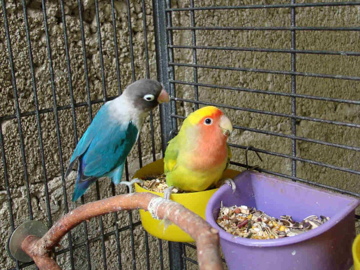 ciri tulang supit dan pubis lovebird jantan atau betina