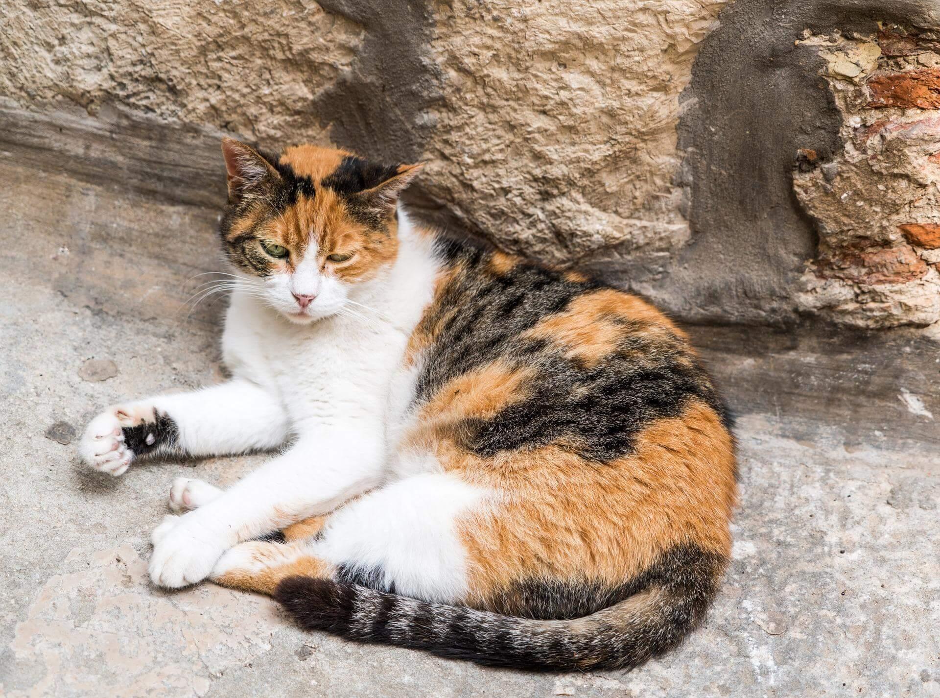 usia kucing kembang telon cukup panjang