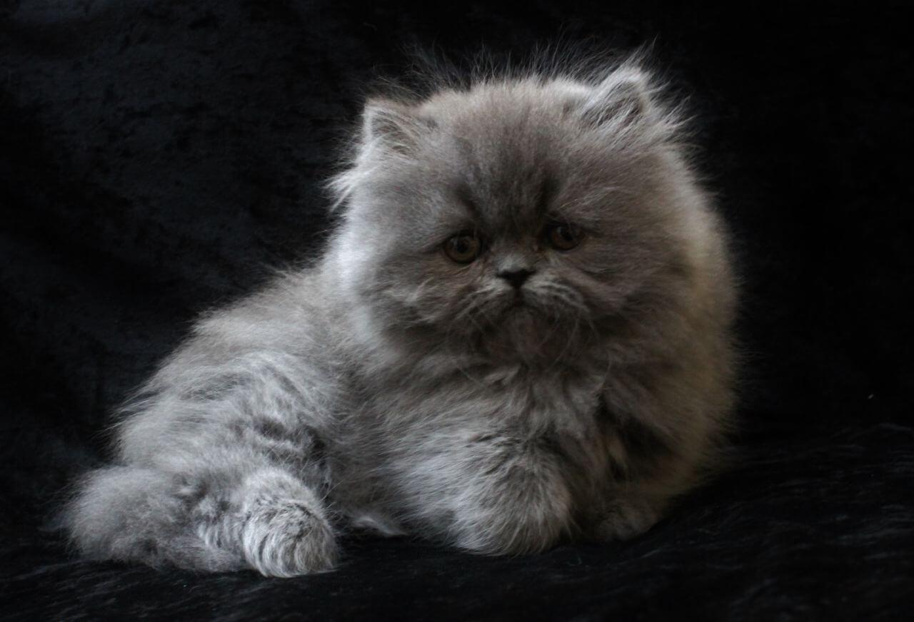cara merawat anak kucing persia agar tidak mati