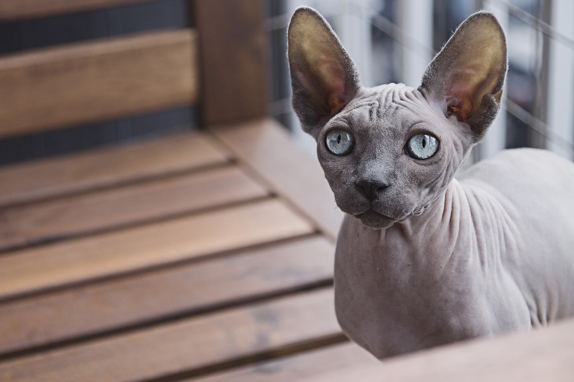 Vitamin untuk Kucing Sphynx