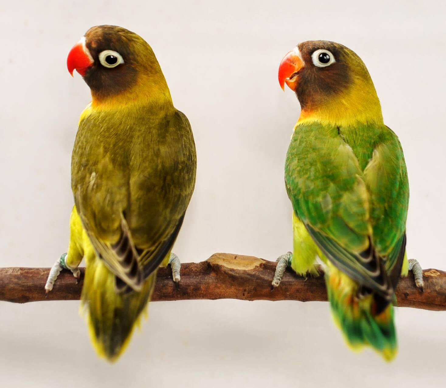 ciri warna bulu lovebird jantan dan betin