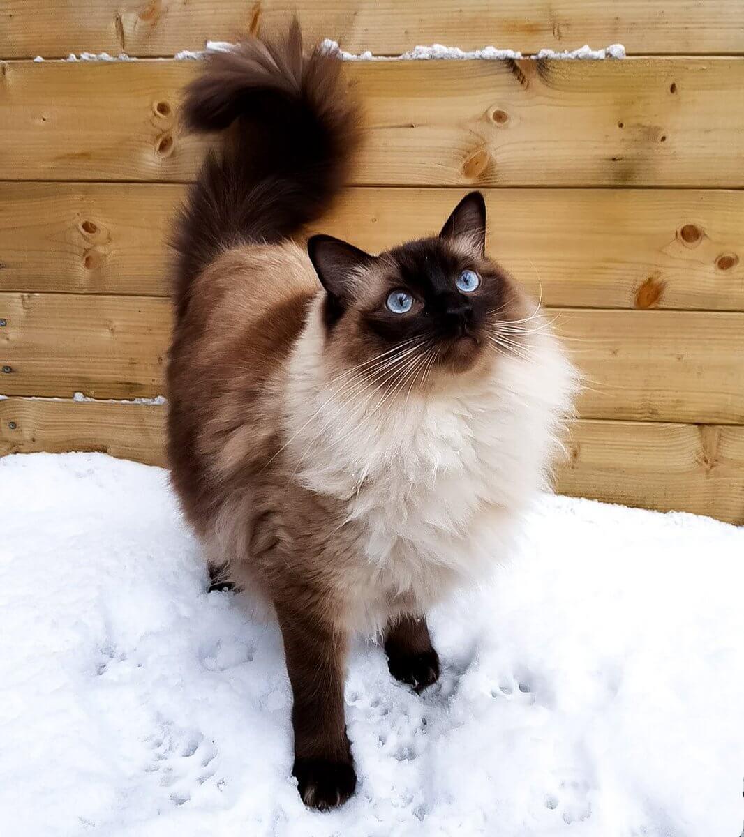 ragam warna kucing ragdoll