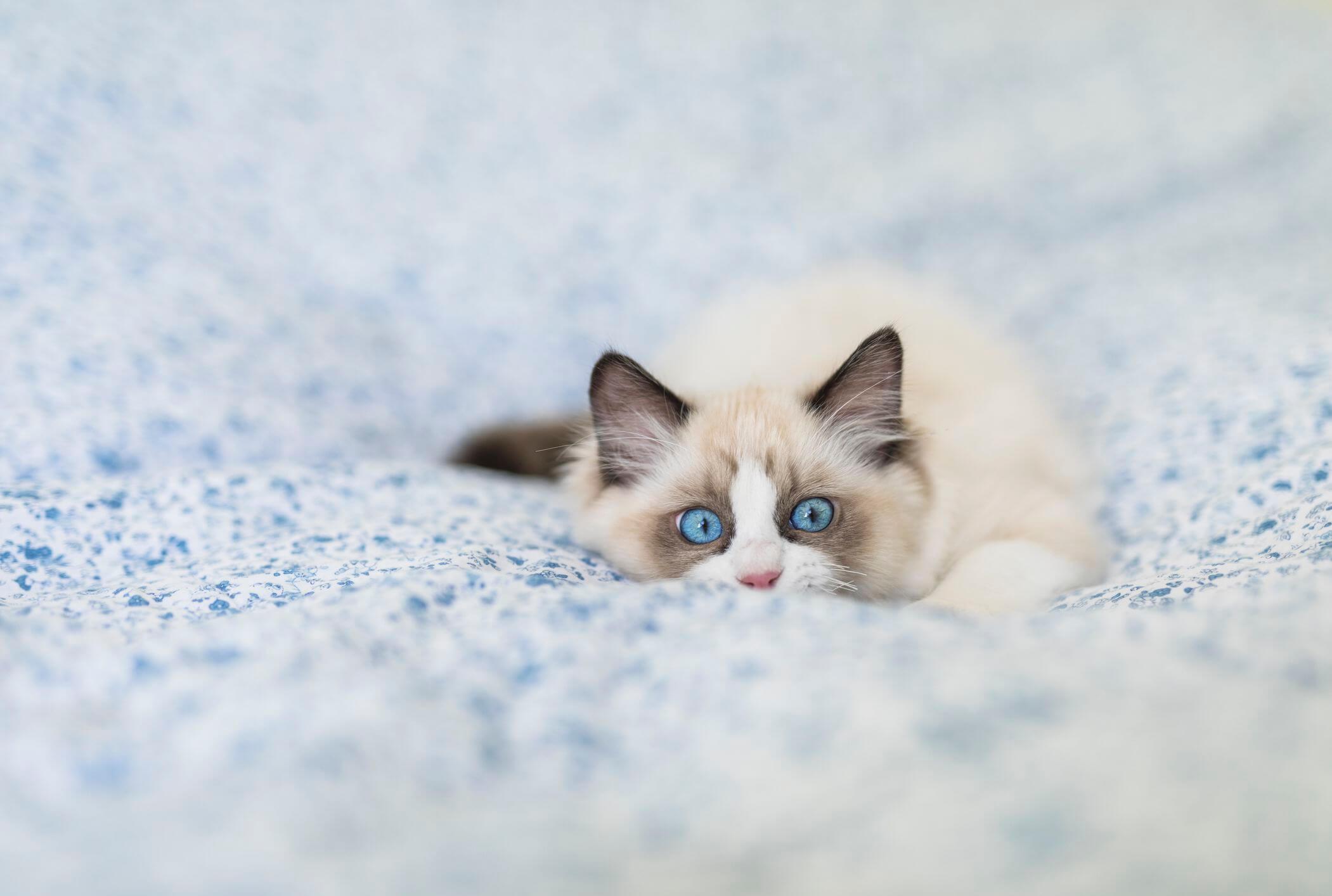 awal kelahiran kucing ragdoll warna putih