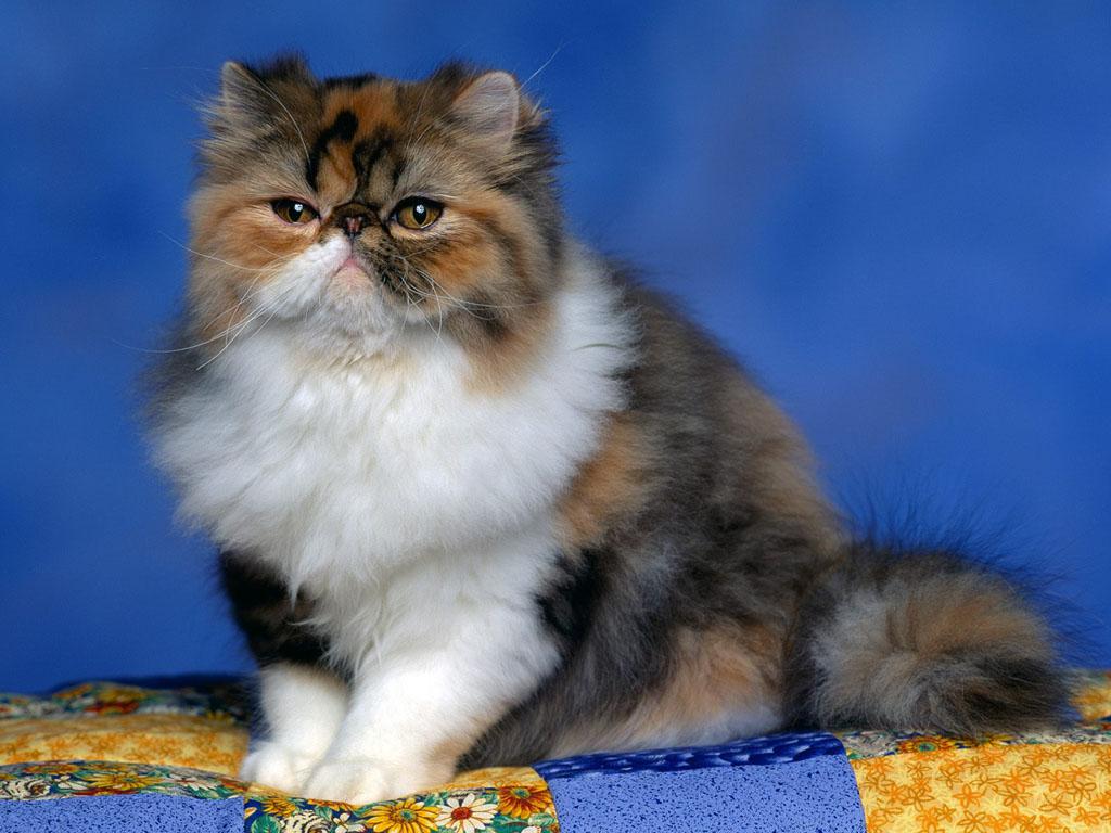 Rahasia Mengenai Kucing Persia Peaknose Calico yang Semua Wajib Tahu