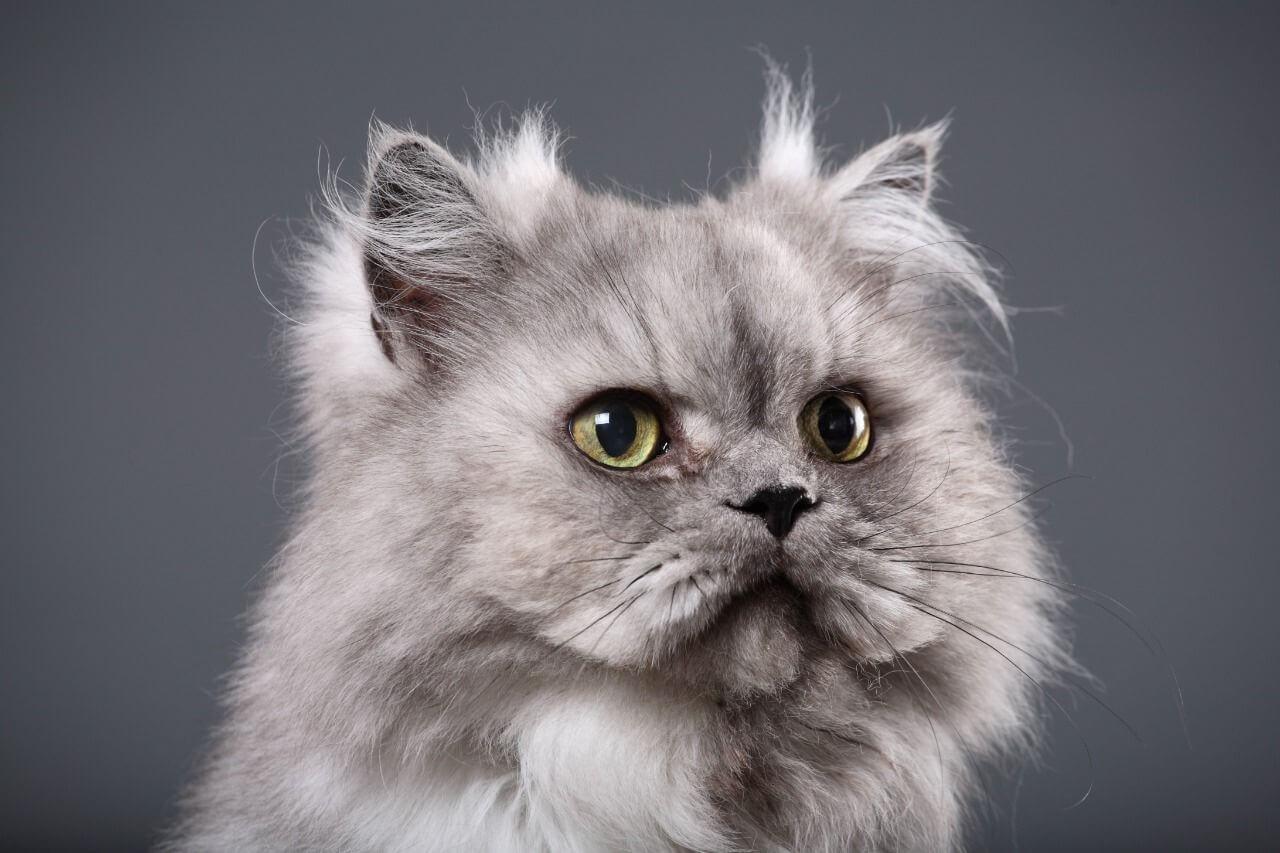 foto kucing persia peaknose