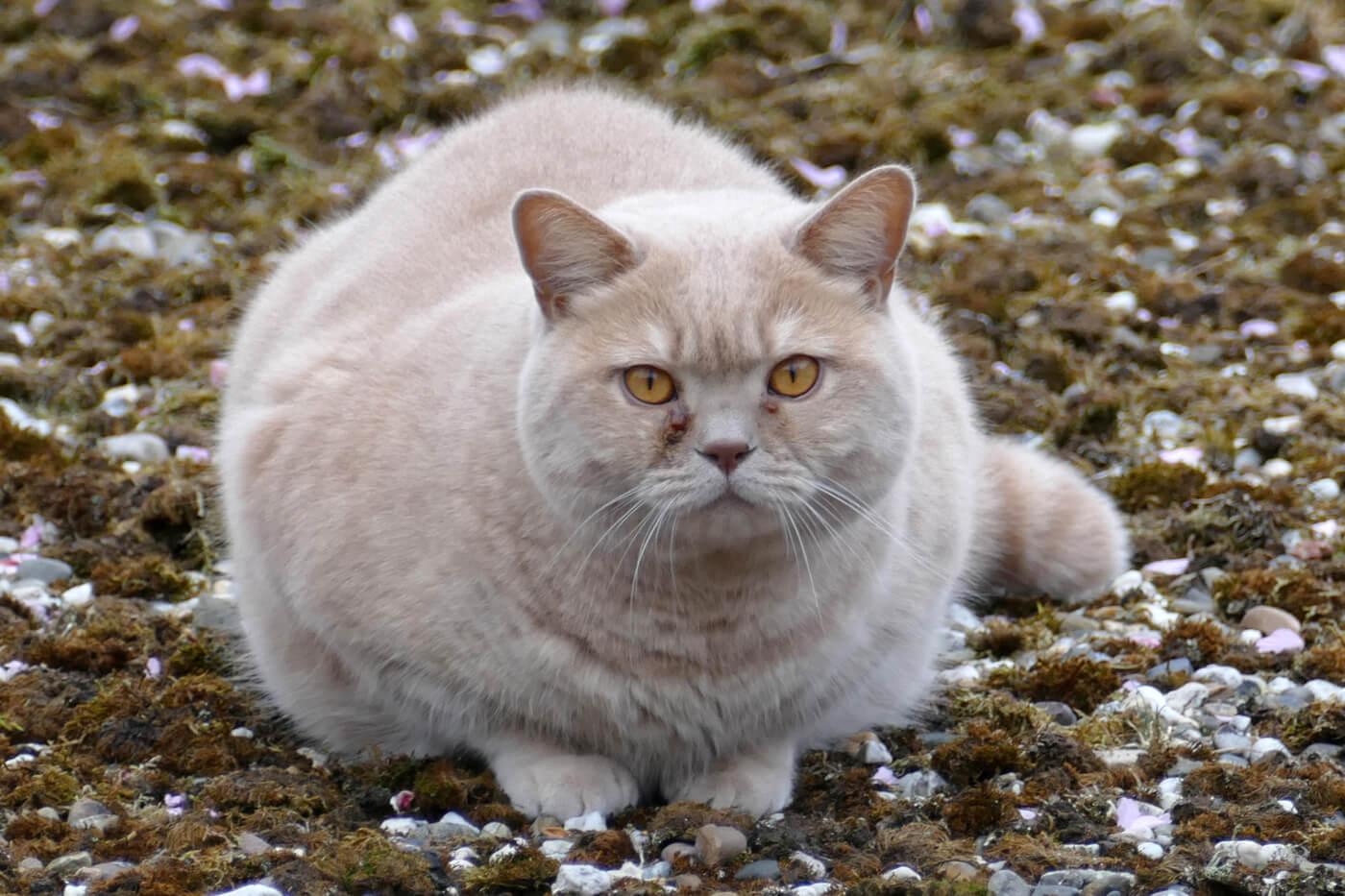 tanda kucing gagal hamil
