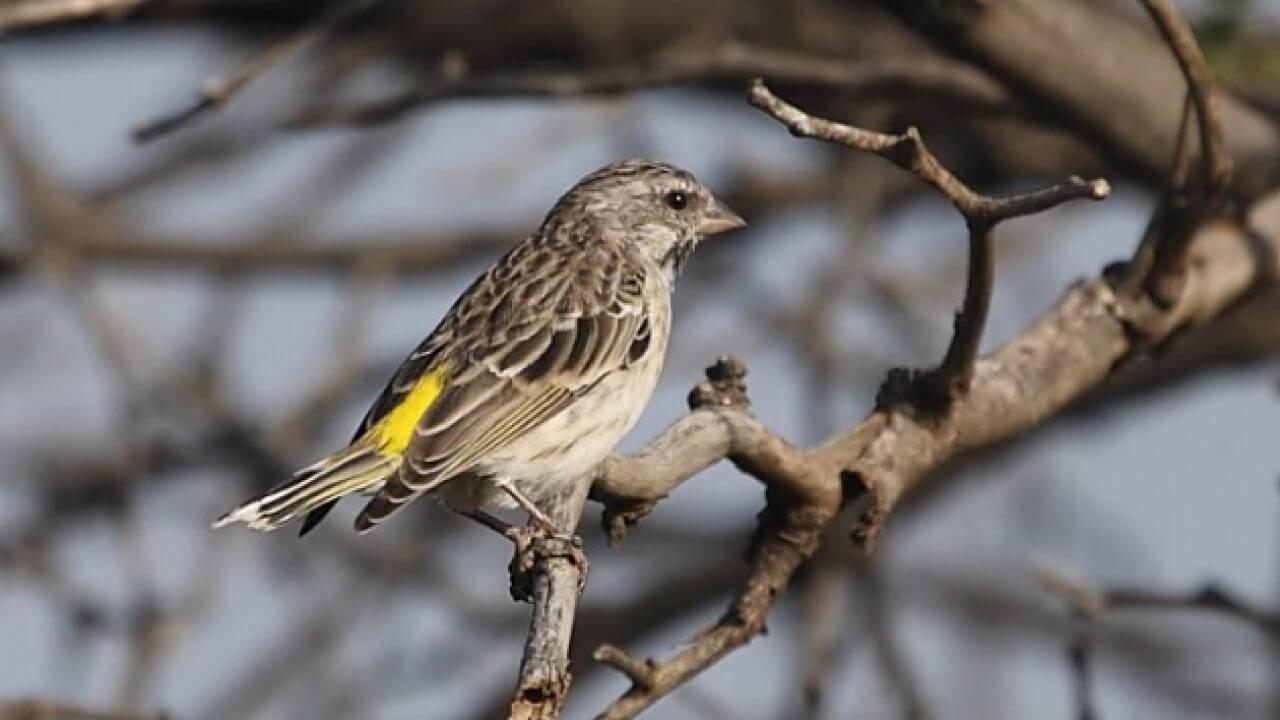 pakan burung blackthroat agar cepat gacor