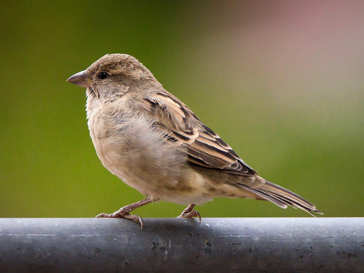 perawatan burung blackthroat agar gacor