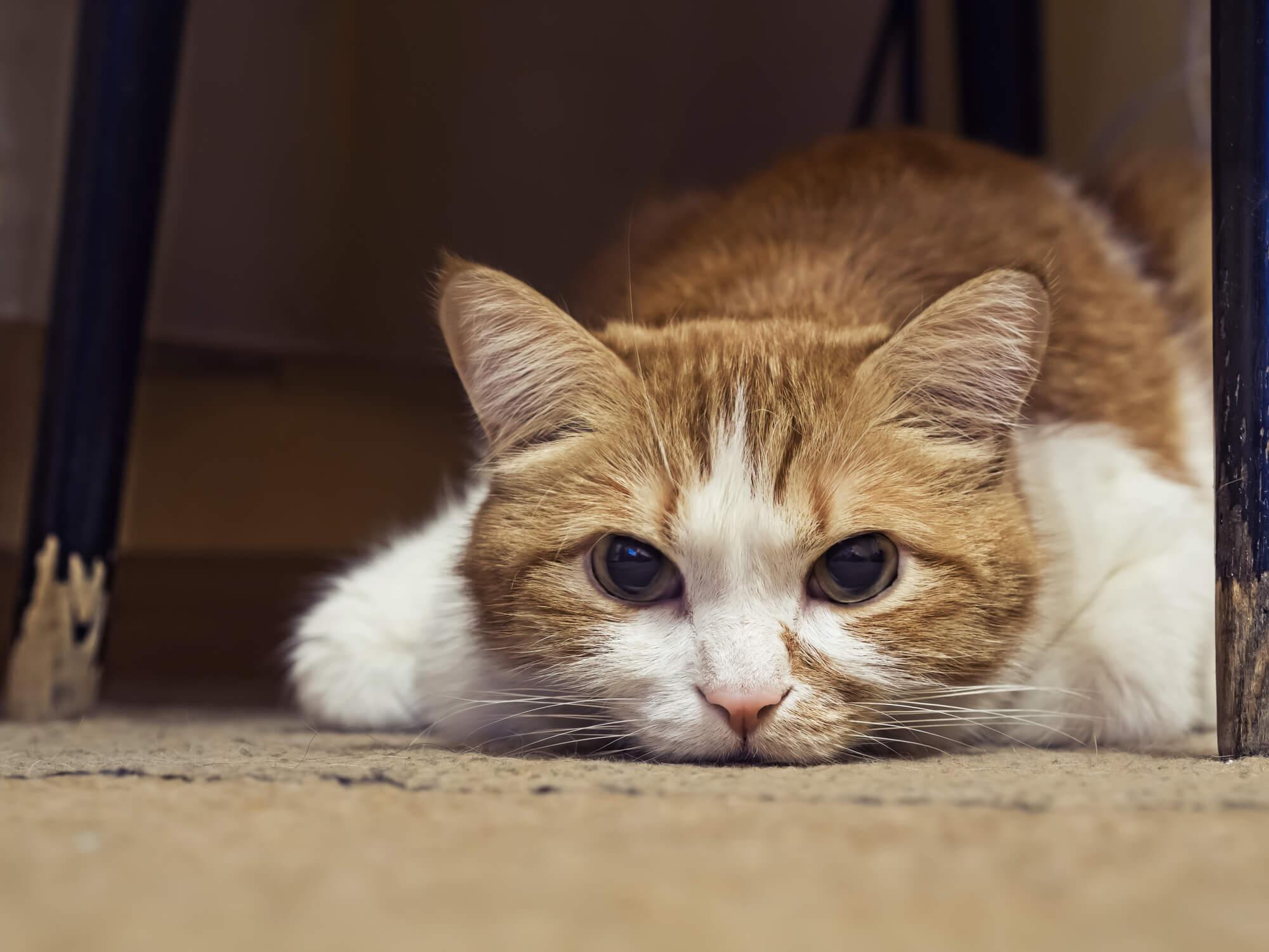 mengatasi kucing demam