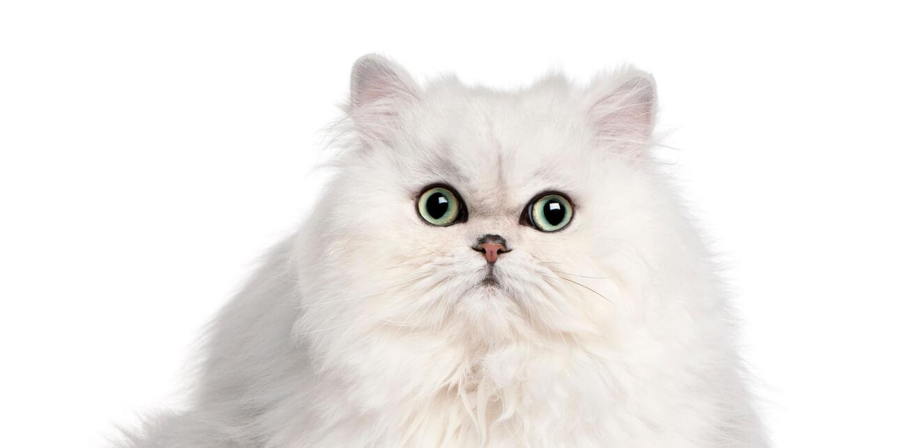 beli kucing persia peaknose