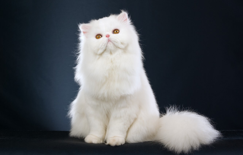 gambar kucing persia peaknose