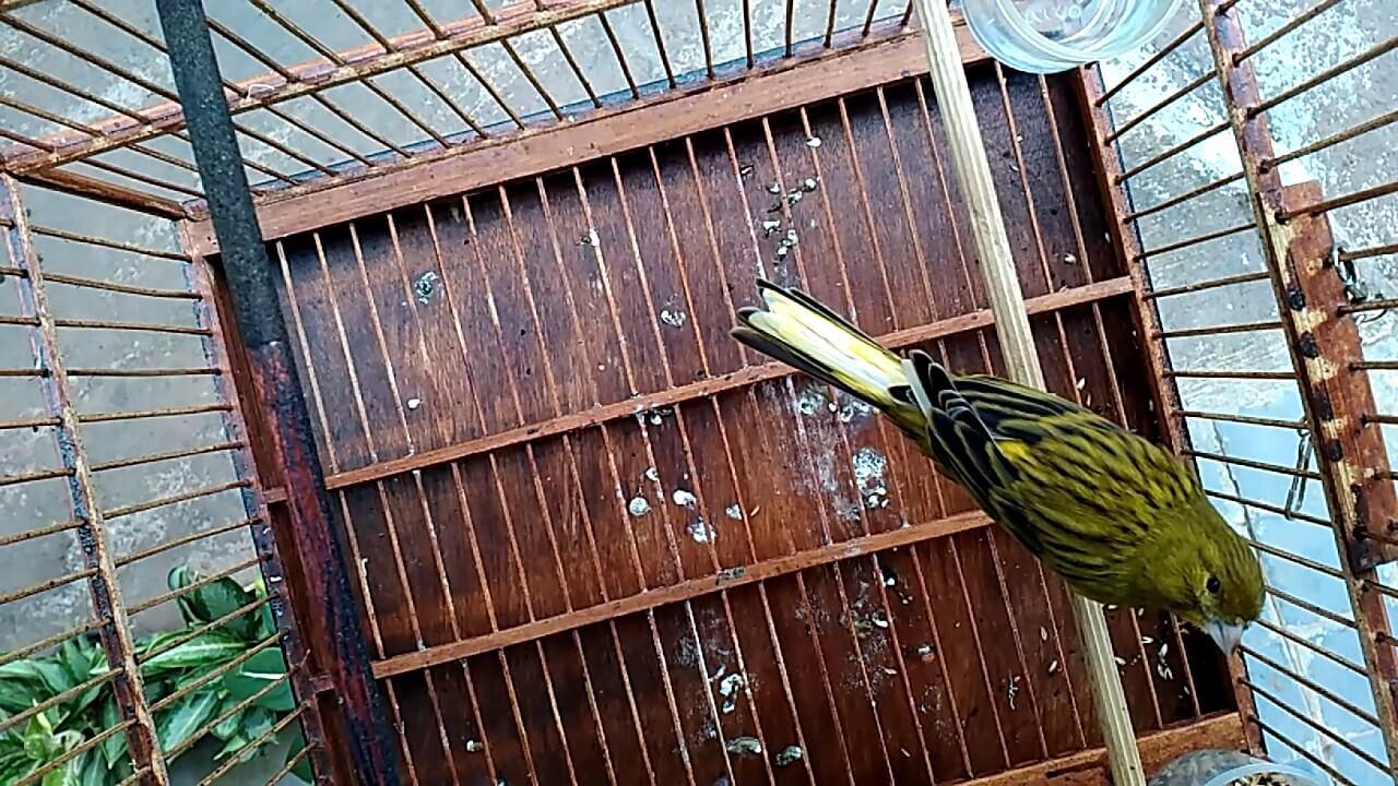 burung kenari lokal hijau