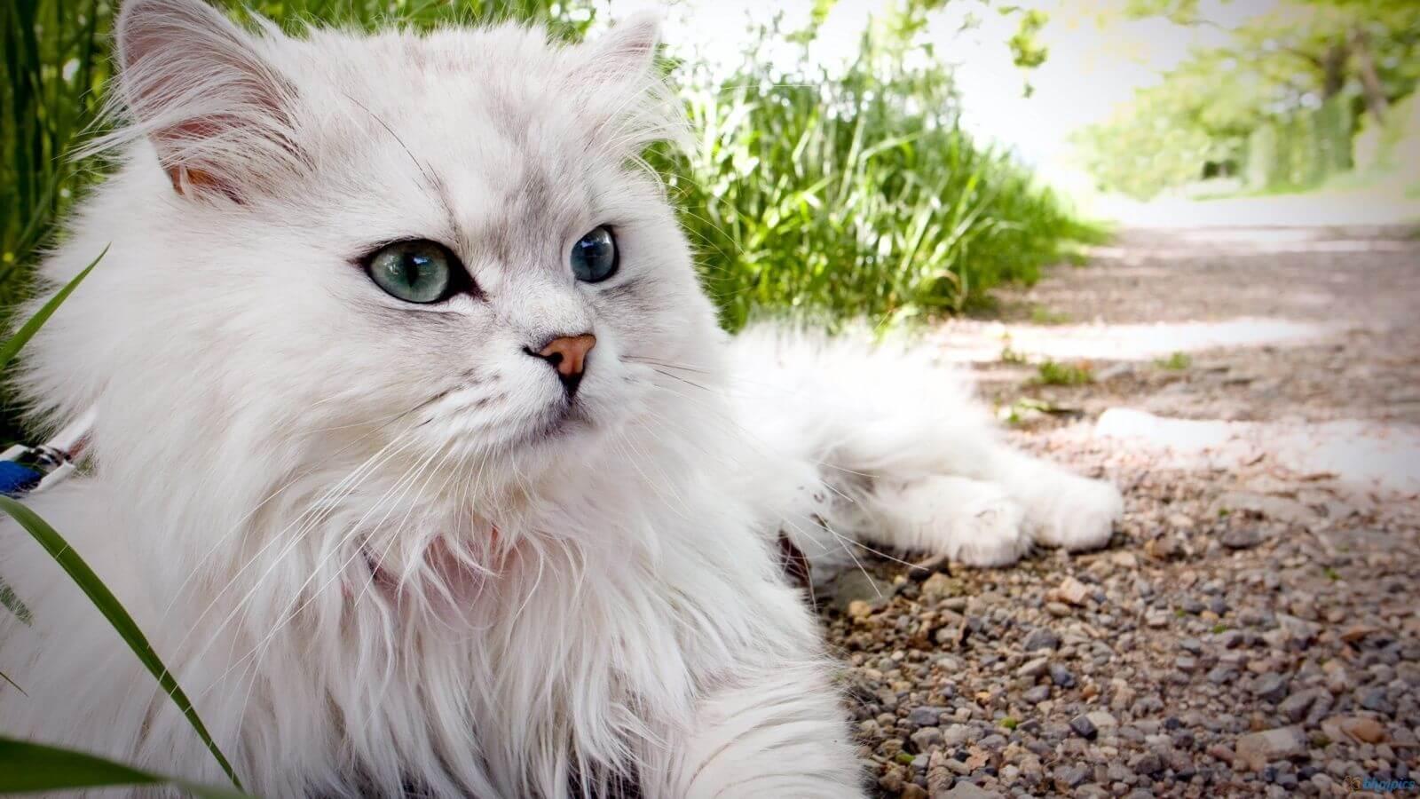karakter kucing persia peaknose