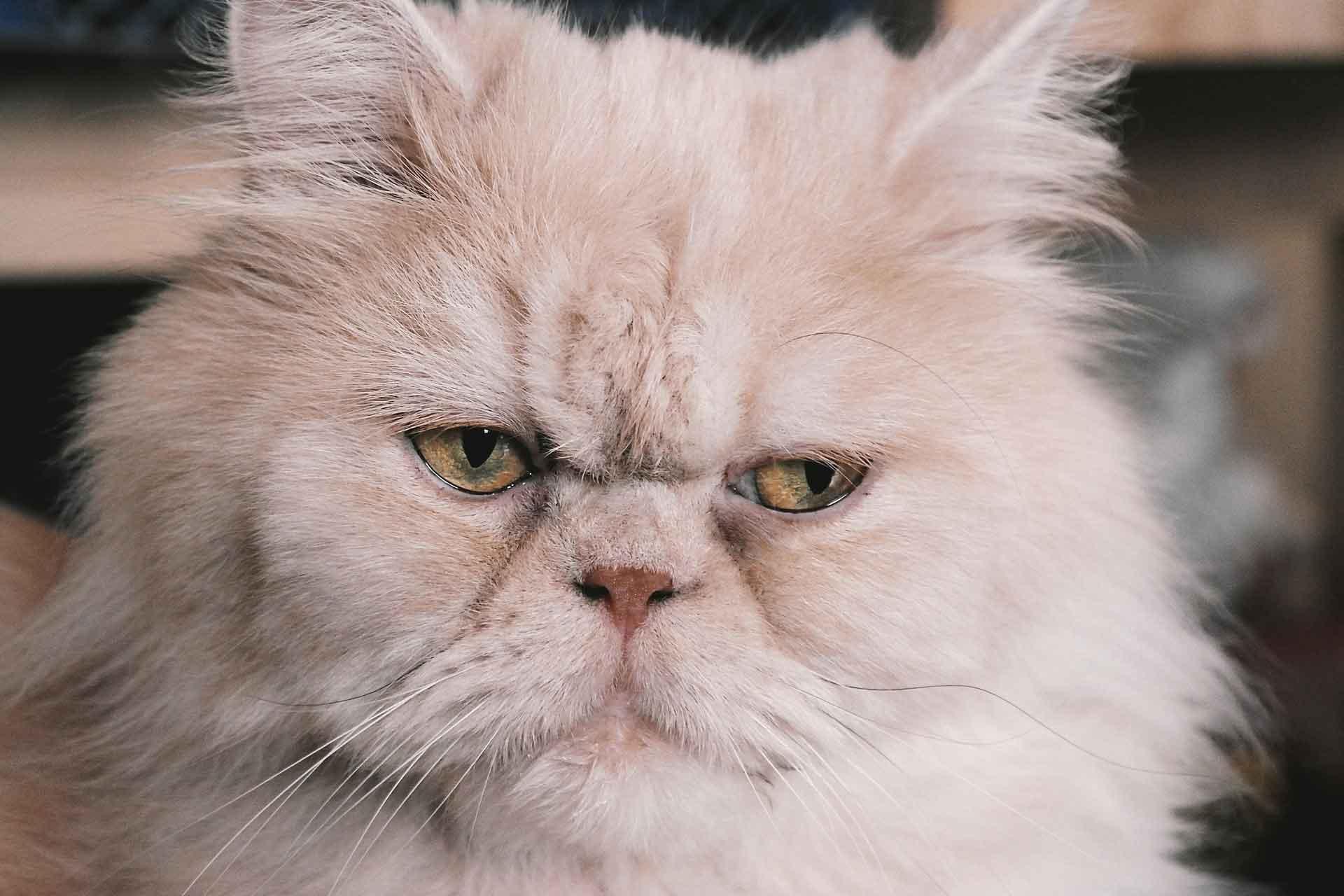 adopsi kucing persia peaknose