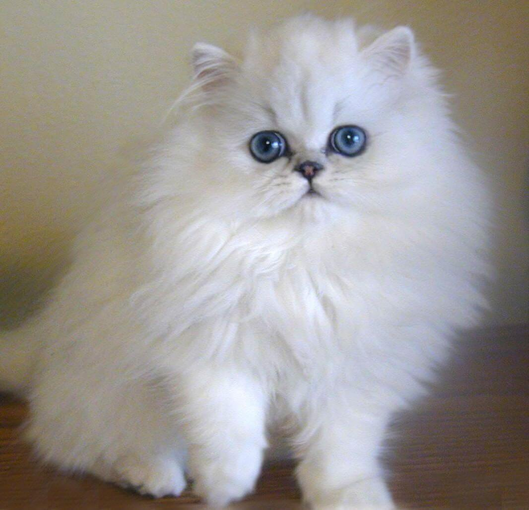 cara merawat kucing persia peaknose agar bulunya tidak rontok