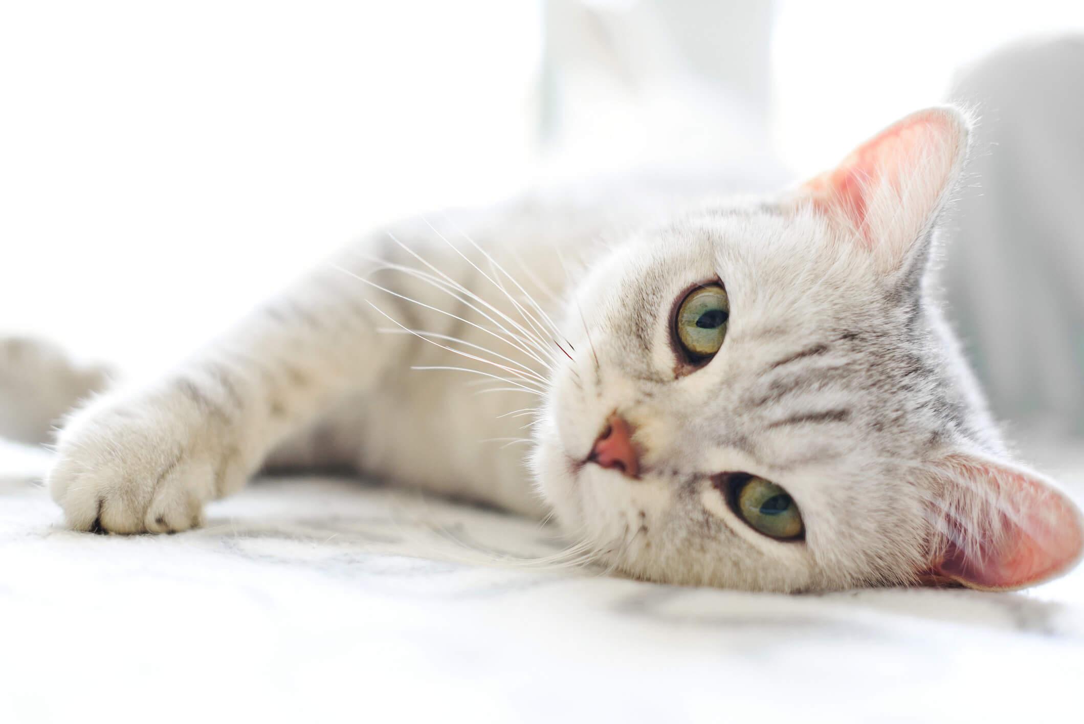 Simak! 3+ Cara Mengobati Kucing Demam dengan Cepat