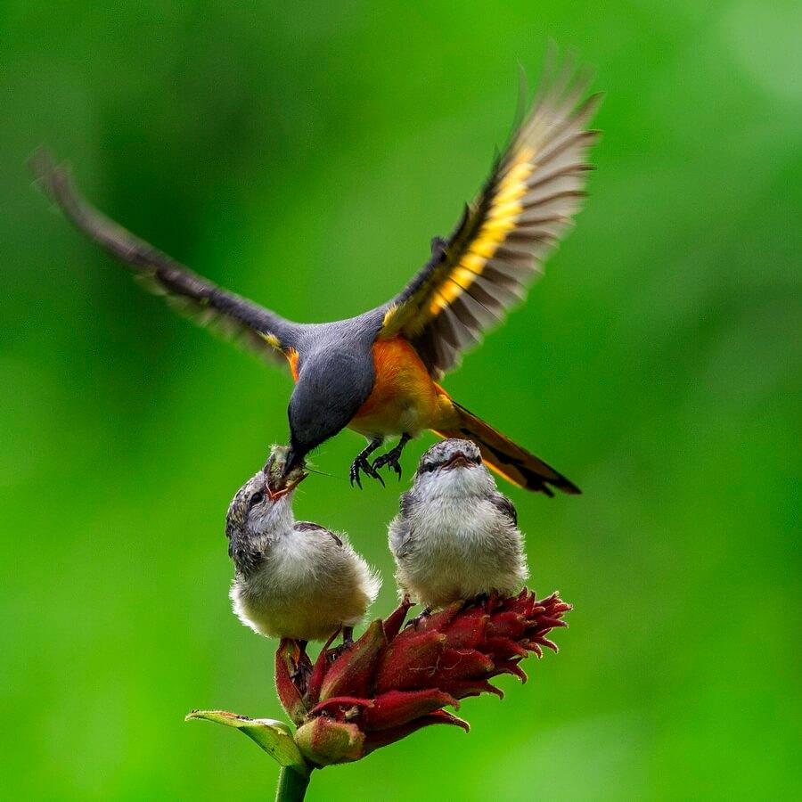 cara budidaya burung tledekan