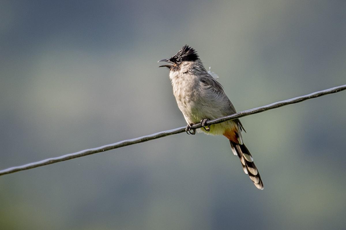 daftar harga anakan burung kutilang