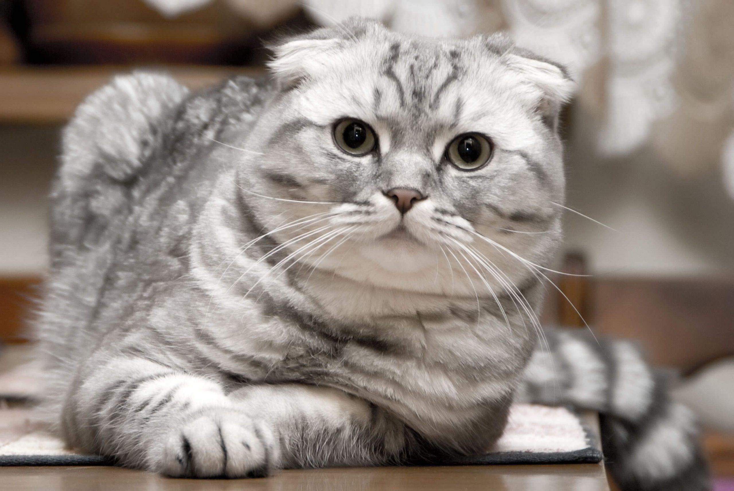 Harga Kucing Scottish Fold
