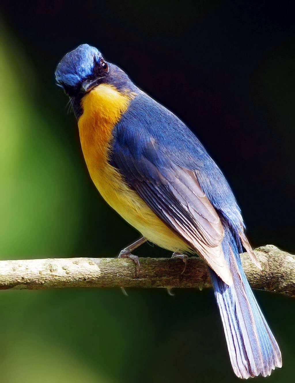 makanan burung tledekan
