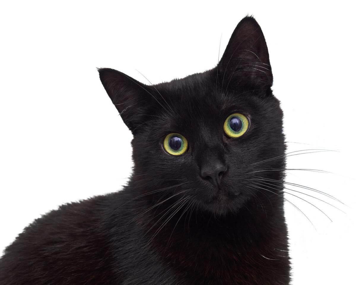 rahasia kucing hitam