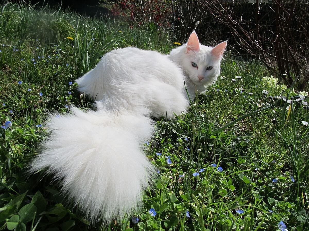 harga Hidup Kucing Anggora dan Persia