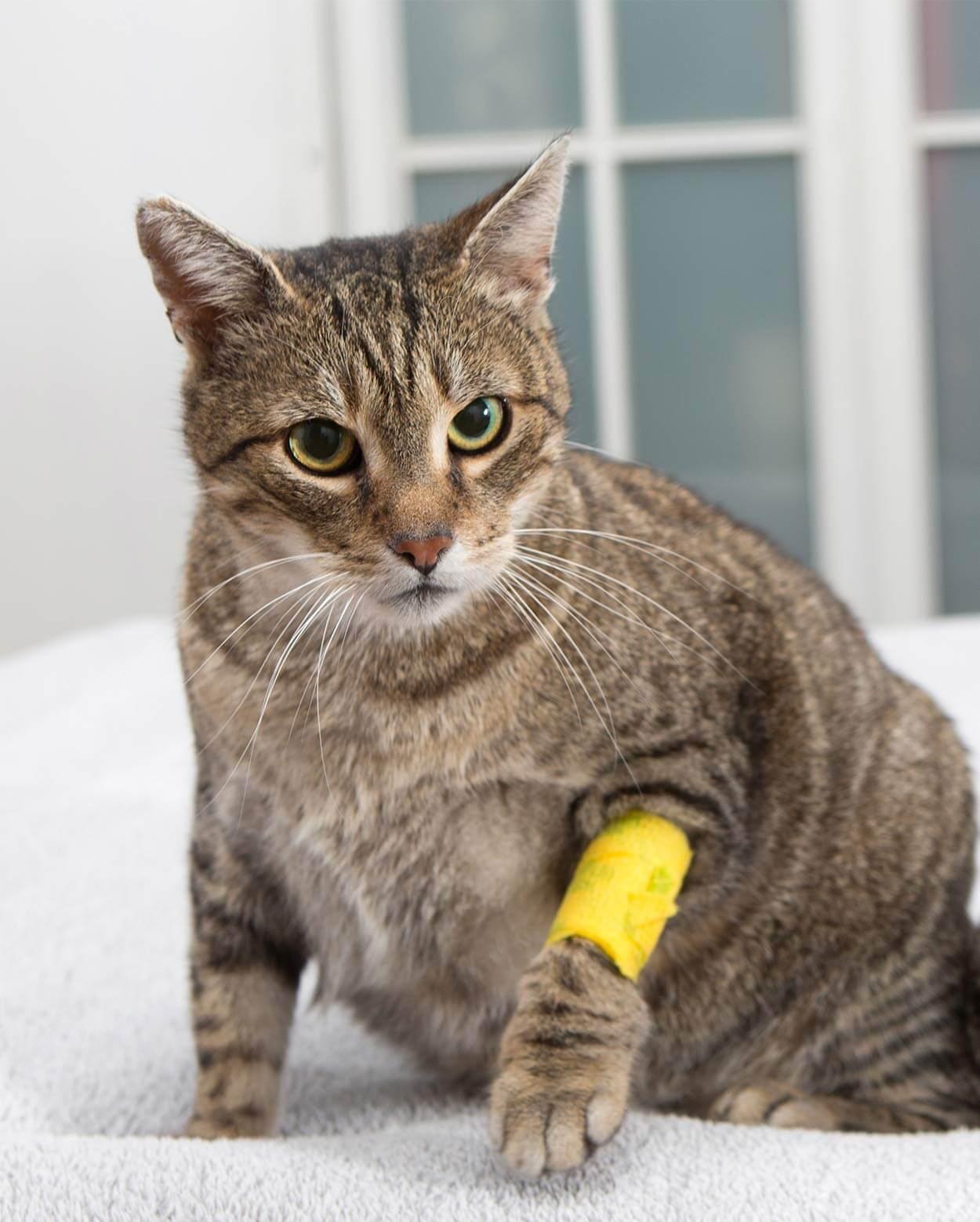 Pertolongan Pertama untuk Kucing yang Terluka