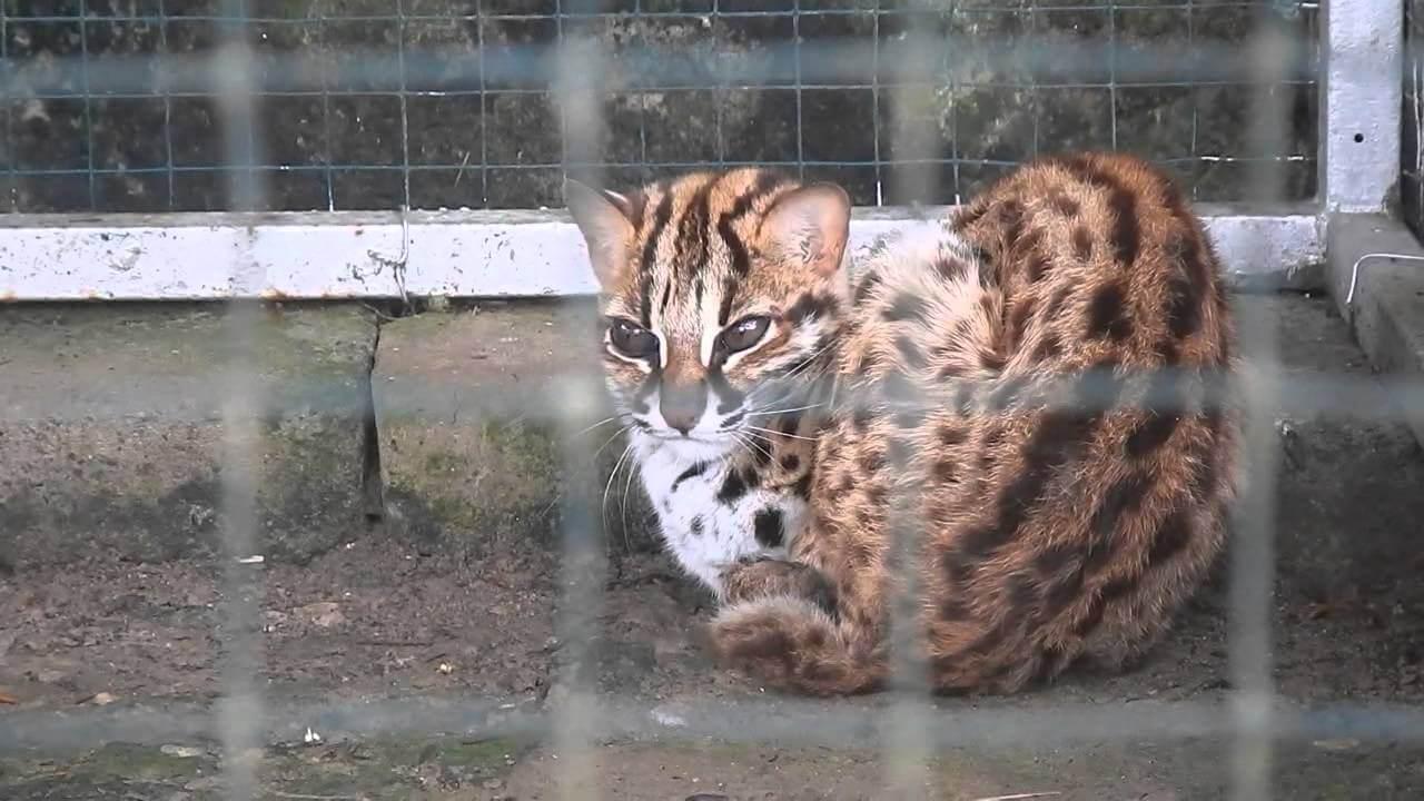 Kucing Hutan yang Dilarang Untuk Dipelihara