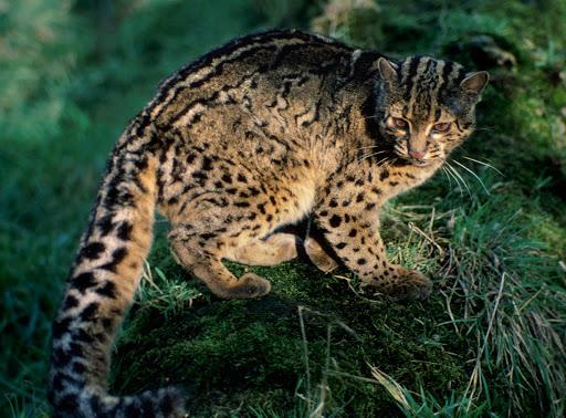 Perbedaan Kucing Hutan dengan Kucing Lainnya