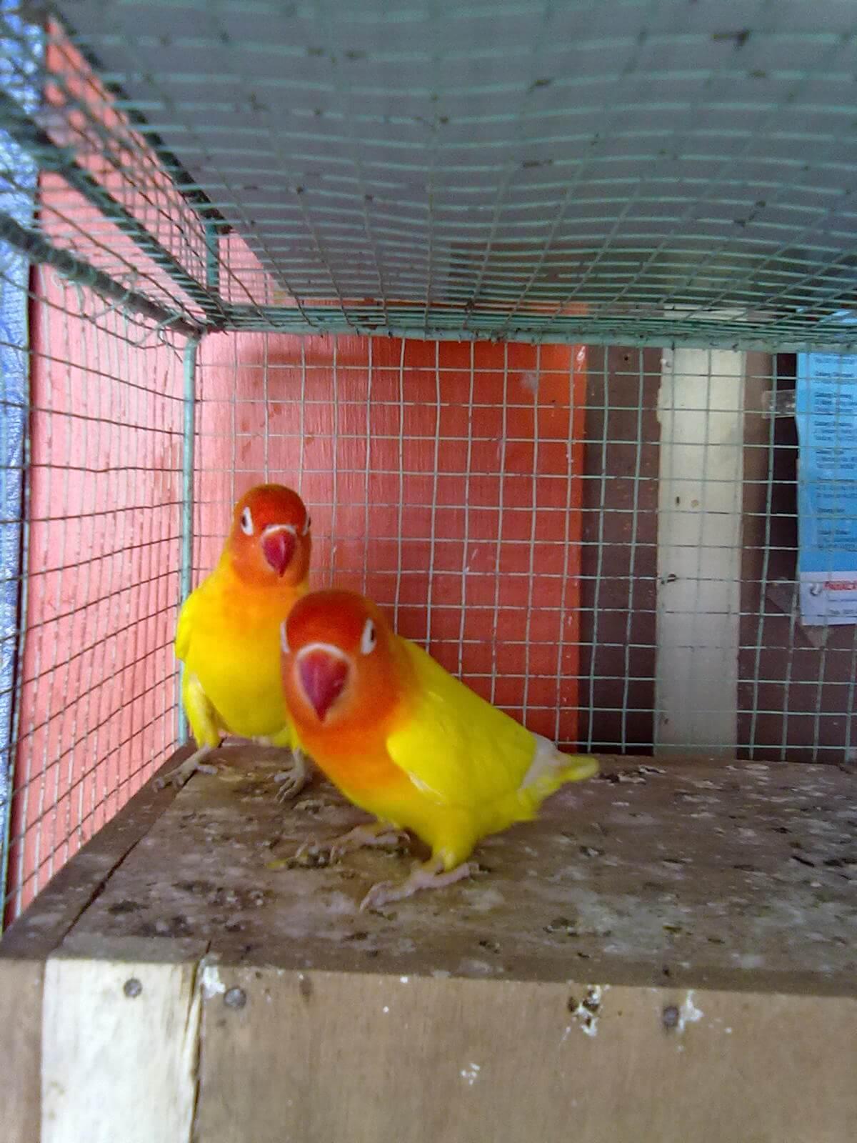 Cara Budidaya Burung Lovebird Lutino Mata Merah